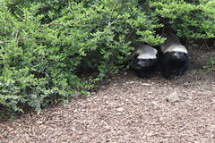 Beebee and Tembe No.1 (Parklife) Tags: howletts wildlife honeybadger animals animal kent
