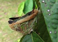 Baby humming bird (Bruja Camilla) Tags: hummingbird animals wildlife birs peru amazonia