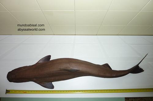 Sleeper shark. Somniosus rostratus.