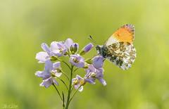 At last (Thijs de Bruin) Tags: orangetip oranjetipje spring lente pinksterbloem groen bokeh macro green pink