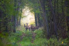 Petite harde (Franck Sebert) Tags: approche approach deer doe biche cerf elaphe elaphus red animal animaux sauvage wild wildlife life paysage ciel terre arbre forêt
