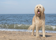Happy soggy doggy (Chickpeasrule) Tags: evie dog goldendoodle beach sea sky seaside soggy happy wet curly