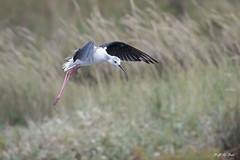 DSC_6322 (P2 New) Tags: 2018 animaux aout bretagne charadriiformes date echasseblanche france morbihan oiseaux pays recurvirostridae réservedeséné
