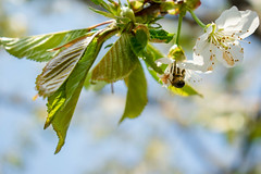 Cherry blossoms that make the spring beautiful (OLF Picture) Tags: cherryblossoms cherry blooming bee flower insect nature honey macro pollen spring fly blossom pollination yellow closeup white flowers summer green nectar animal plant bug hoverfly garden honeybee bumblebee tree petal season flora branch sky bloom blue beauty floral beautiful april