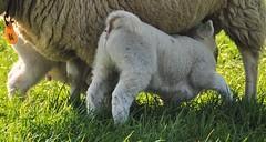 Mom 84 I want milk !!!!! (wilma HW61) Tags: lam lamb agneau agnello dier animal animale beast tier natuur nature natur naturaleza nederland niederlande netherlands nikond90 holland holanda paysbas paesibassi paísesbajos europa europe voorjaar lente spring primavera printemps frühling gras grass outdoor wilmahw61 wilmawesterhoud