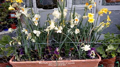 Mini-Daffs seen from outside of balcony 22nd April 2019 001 (D@viD_2.011) Tags: minidaffs seen from outside balcony 22nd april 2019