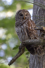 Barred Owl (DFChurch) Tags: sixmilecypressslough barred owl strixvaria nature raptor bird wild animal florida