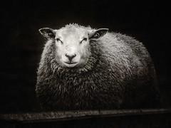 Photogenic sheep (alowlandr) Tags: sheep monochrome closeup