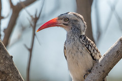 Toco Piquirojo Sureño (ik_kil) Tags: tockuserythrorhynchusrufirostris tocopiquirojosureño southernredbilledhornbill tockusrufirostris kruger krugernationalpark southafrica