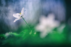 windflower_loesen_2019_7 (AESTRACT) Tags: windlfower spring vår blommor flowers
