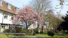 Cherry tree flowering in St Mary's church gardens on Huntingdon High Street 22nd April 2019 (D@viD_2.011) Tags: cherry tree flowering st marys church gardens huntingdon high street 22nd april 2019