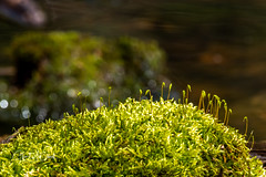Moss on a rock in a pond