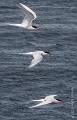 South American Tern (probably) (karenmelody) Tags: animal animals bird birds bleakerisland charadriiformes falklandislands laridae southamericantern sternahirundinacea vertebrate vertebrates
