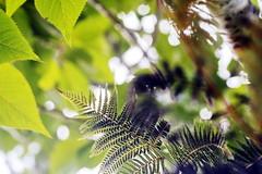 Vision vers le ciel à travers bois en Nouvelle Zélande (Christian Chene Tahiti) Tags: canon 6d auckland nature fougèrearborescente lookup vert jaune color couleur flore nouvellezélande newzealand nz feuille foliage closeup extérieur plante vuededessous bokeh