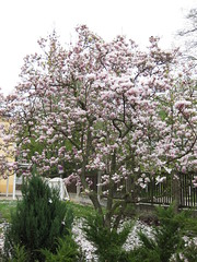 Magnolien (✿ Esfira ✿) Tags: magnolien magnolia frühling spring stockerau österreich austria niederösterreich loweraustria