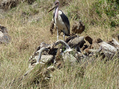 Feeding frenzy - Marabou stork and Ruppell's, African white-backed, and lappet-faced vultures fight over a carcass (Animal People Forum) Tags: scavenging scavenger scavengers stork storks vulture vultures savanna carcass corpse dead bird birds feeding eating maasaimara masaimara kenya africa