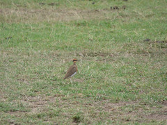 Temminck's courser in Masai Mara (Animal People Forum) Tags: courser bird wader birds grass grassland savanna masaimara maasaimara kenya africa