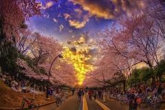 Cherry Blossom Redux