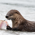 River Otter and Sole thumbnail