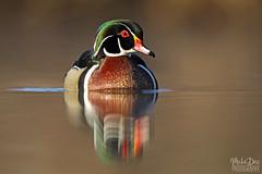 IMG_9296nxr (4President) Tags: wood duck aix sponsa minnesota