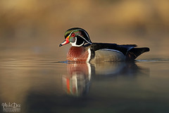IMG_9009nxr (4President) Tags: wood duck aix sponsa minnesota