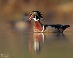 IMG_9199nxr (4President) Tags: wood duck aix sponsa minnesota