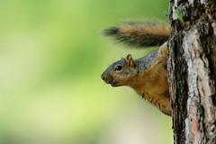 Fox Squirrel Hanging Around (just4memike) Tags: animal blurredbackground colorful cute eye green nature small squirrel tree wildlife