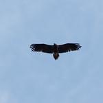 Vautour percnoptère - Neophron percnopterus - Egyptian Vulture thumbnail
