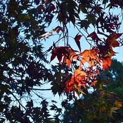 Autumn light (stephen trinder) Tags: stephentrinder stephentrinderphotography aotearoa godzone kiwi christchurch christchurchnewzealand autumn leaves light sunlight silhouettes