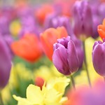 Tulipes thumbnail