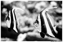 .. (Matías Brëa) Tags: peces acuario agua blancoynegro blackandwhite bnw mono monochrome monocromo fishes aquarium water