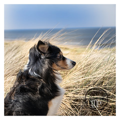 Longing look into the distance (Sony_Fan) Tags: 2019 sony alpha 7 mark 2 tamron2875mm 28 paige dog dunes sand grass landscape seascape netherlands holland den helder beach longing look distance sea blue sky adobe photoshop thomas umbach schwelm sonyfan nature photographer flickr global