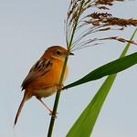 Golden - headed cisticola, Tolderol Reserve, SA thumbnail