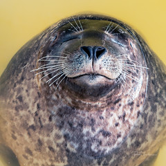 Grey seal relax time. (rudi.verschoren) Tags: ecomare texel netherlands nord seal sanctuary water pool relax europe reflection yellow animal outdoor glow holland sealife contrast colors nature