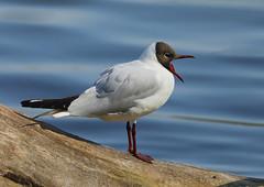 Black-headed Gull --- Chroicocephalus ridibundus (creaturesnapper) Tags: birds uk europe waterbirds seabirds gulls blackheadedgull chroicocephalusridibundus