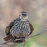Red-winged Blackbird - female thumbnail