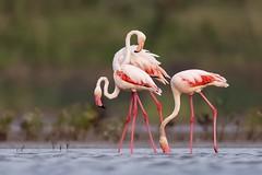 Greater Flamingo (Phoenicopterus roseus) 火烈鸟 huǒ liè niǎo (China (Jiangsu Taizhou)) Tags: birdwatcher birdwatching nationalgeographic ngc natgeo greaterflamingo largesizebird shorebird waddingbirds forest wildlife birdsofjiangsu birdsofchina 800mm afsnikkor800mmf56eflvr birdsplanet natgeowild d5 nikon