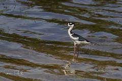 Black-necked stilt (Stephen J Pollard (Loud Music Lover of Nature)) Tags: blackneckedstilt monjitaamericana shorebird aveplayera bird ave himantopusmexicanus