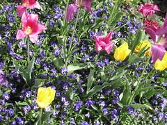 Blumenbeet (✿ Esfira ✿) Tags: tulpen tulips stiefmütterchen veilchen viola frühling spring blumen flowers stockerau österreich austria niederösterreich loweraustria