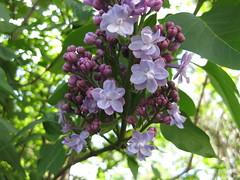Flieder (✿ Esfira ✿) Tags: flieder lilac syringa blumen flowers frühling spring stockerau österreich austria niederösterreich loweraustria