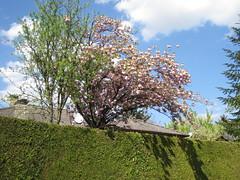 Zierkirschbaum (✿ Esfira ✿) Tags: zierkirschbaum cherryblossoms frühling spring stockerau österreich austria niederösterreich loweraustria
