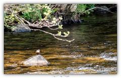 Pb_4250056 (calpha19) Tags: imagesvoyagesphotography adobephotoshoplightroom olympusomdem1mkii zuiko 50200swd printemps 2019 couleursprintemps oiseaux eaux rapide cincleplongeur river rivière lavologne grangessurvologne vosges grandest