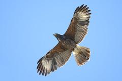 Harris's Hawk (Juvenile) (thepcspud) Tags: harris hawk juvenile phoenix arizona