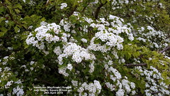 Hawthorn (Mayflower) flowers near Sapley Square (Close up) 24th April 2019 (D@viD_2.011) Tags: flowering trees huntingdon 24th april 2019