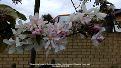 Flowering trees in Buttsgrove Way, Huntingdon (Flowers close up) 24th April 2019 003 (D@viD_2.011) Tags: flowering trees huntingdon 24th april 2019