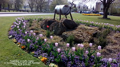 Flowerbed on traffic island on Huntingdon Ring Road with Reindeer 17th April 2019 002 (D@viD_2.011) Tags: flowerbed traffic island huntingdon ring road april 2019