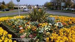 Flowerbed (Raised portion) on traffic island on Huntingdon Ring Road 17th April 2019 002 (D@viD_2.011) Tags: flowerbed traffic island huntingdon ring road april 2019
