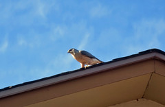 The Hawk (to be continued) (Jo-Lee Photography & Art) Tags: bird hawk roof watching sky blue predator waiting clouds morning