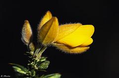 The gorse flower (ulex). La flor del tojo (A. Muiña) Tags: flor flower amarillo yellow vegetal vegetable color naturaleza nature bosque forest macrofotografía garden jardín airelibrefresh airbokehdesenfoqueplantaplantprocesspostpictóricopictorialnikonnikon d800sigma 105mm