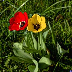 Rot und Gelb (Helmut Reichelt) Tags: gelb rot tulpenzeit tulpen blüten garten geretsried april frühling wald bayern bavaria deutschland germany leica leicam typ240 captureone12 dxophotolab leicasummilux50mmf14asph crop
